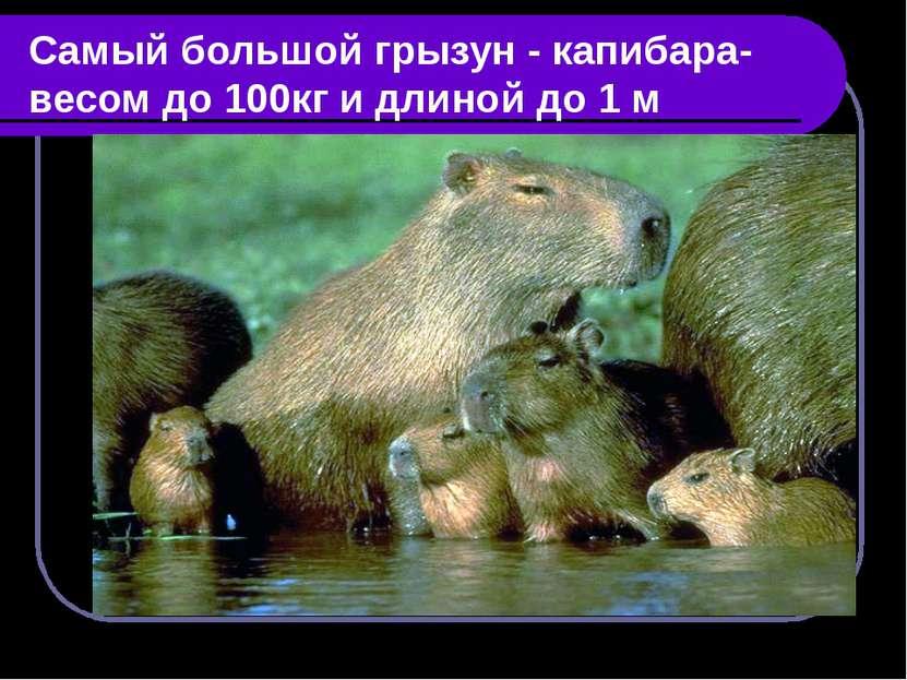 Самый большой грызун - капибара-весом до 100кг и длиной до 1 м