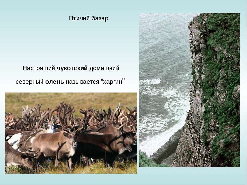 """Птичий базар Настоящий чукотский домашний северный олень называется """"харгин"""""""