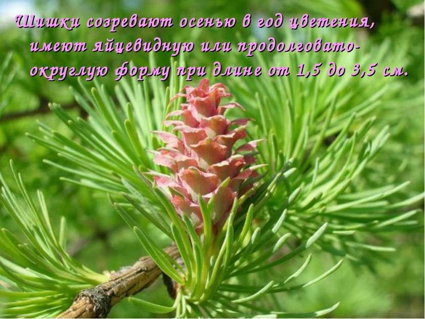 Шишки созревают осенью в год цветения, имеют яйцевидную или продолговато-окру...