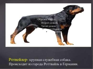 Ротвейлер- крупная служебная собака. Происходит из города Роттвайль в Германии.