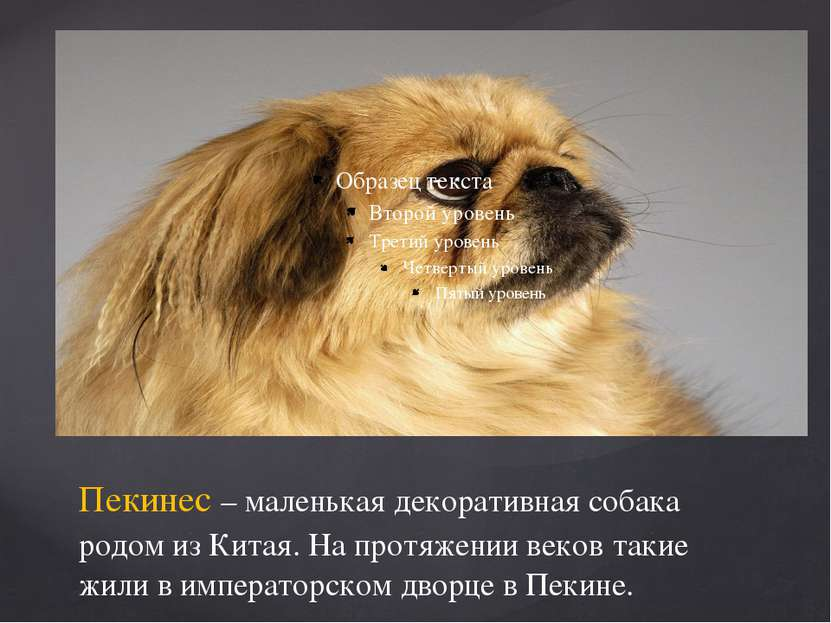 Пекинес – маленькая декоративная собака родом из Китая. На протяжении веков т...