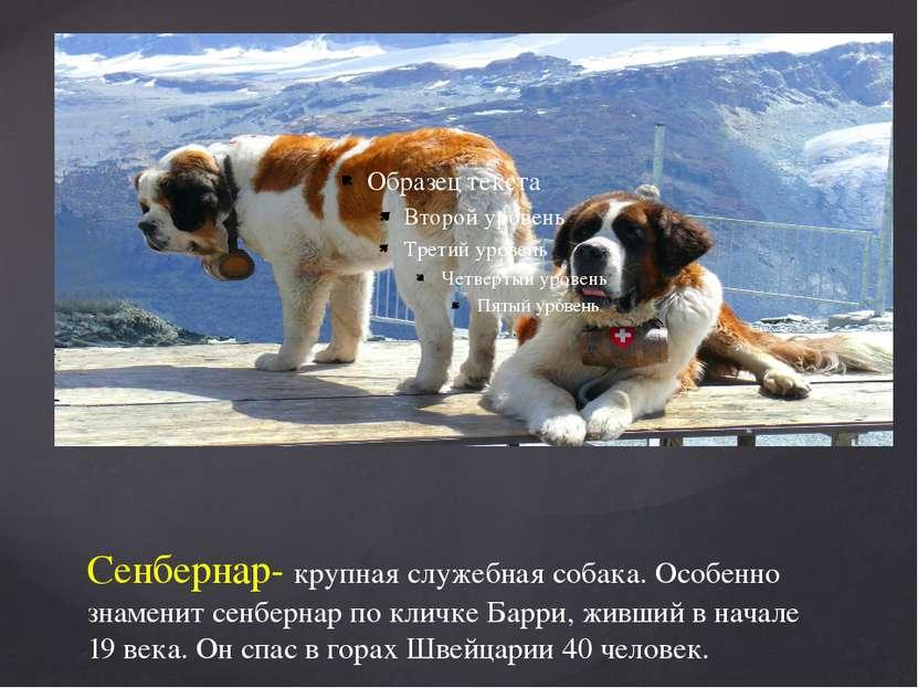 Сенбернар- крупная служебная собака. Особенно знаменит сенбернар по кличке Ба...