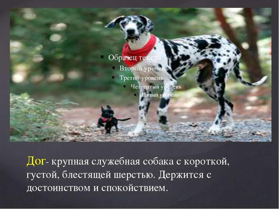 Дог- крупная служебная собака с короткой, густой, блестящей шерстью. Держится...