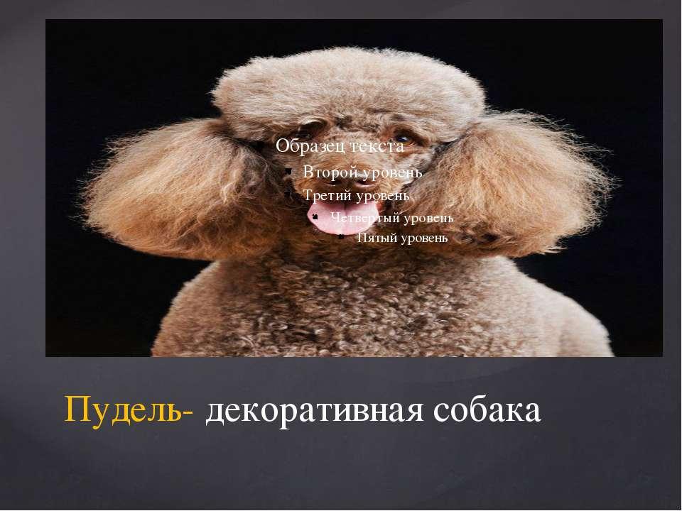 Пудель- декоративная собака
