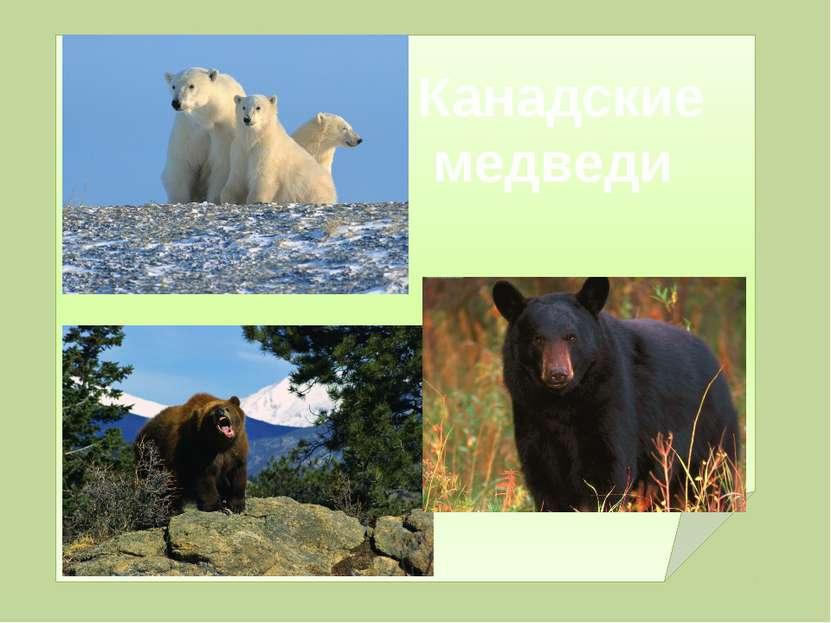 Канадские медведи