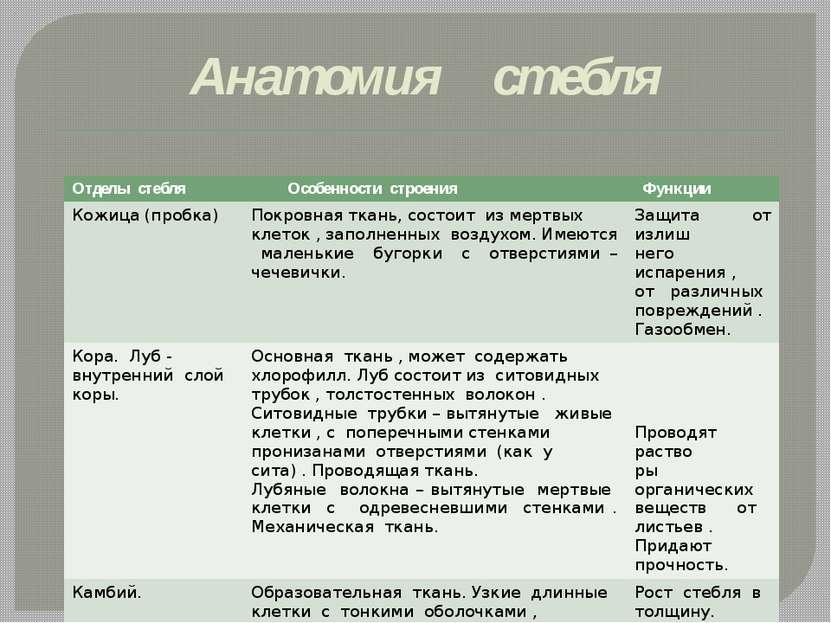 Анатомия стебля Отделы стебля Особенности строения Функции Кожица (пробка) По...