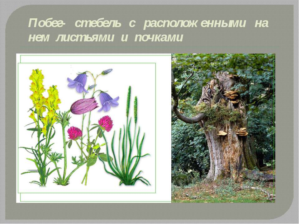 Побег- стебель с расположенными на нем листьями и почками