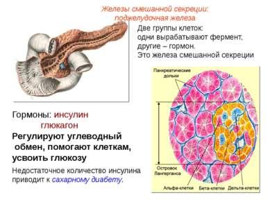 Железы смешанной секреции: поджелудочная железа Две группы клеток: одни выраб...