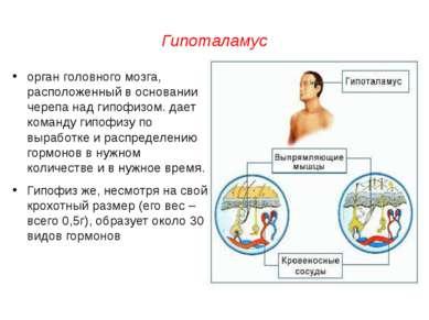 Гипоталамус орган головного мозга, расположенный в основании черепа над гипоф...