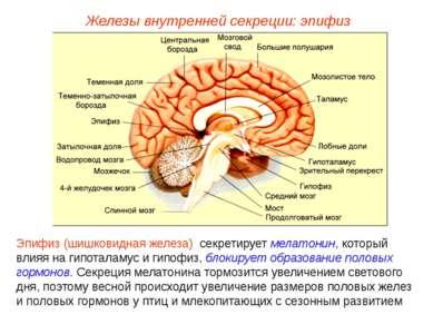 Железы внутренней секреции: эпифиз Эпифиз (шишковидная железа) секретирует ме...