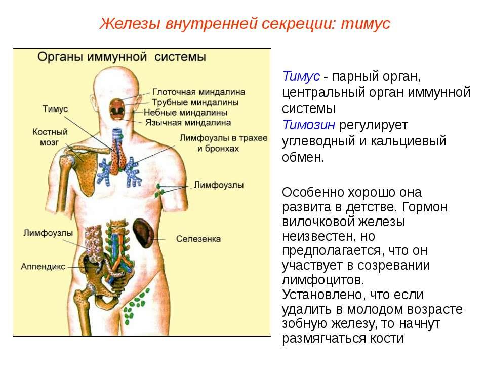 Тимус - парный орган, центральный орган иммунной системы Тимозин регулирует у...