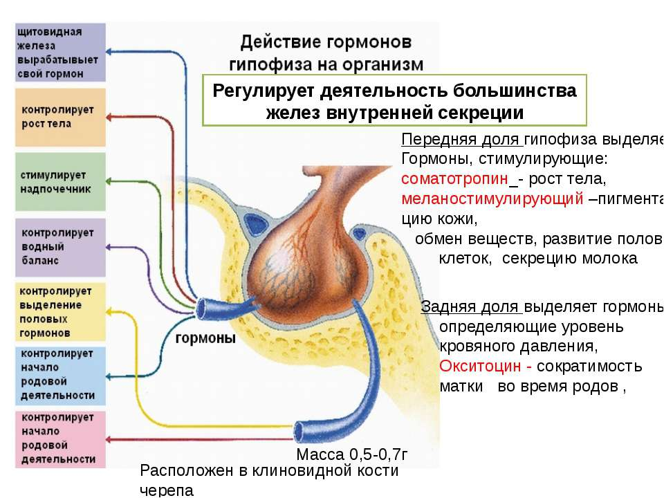 Передняя доля гипофиза выделяет Гормоны, стимулирующие: соматотропин_- рост т...