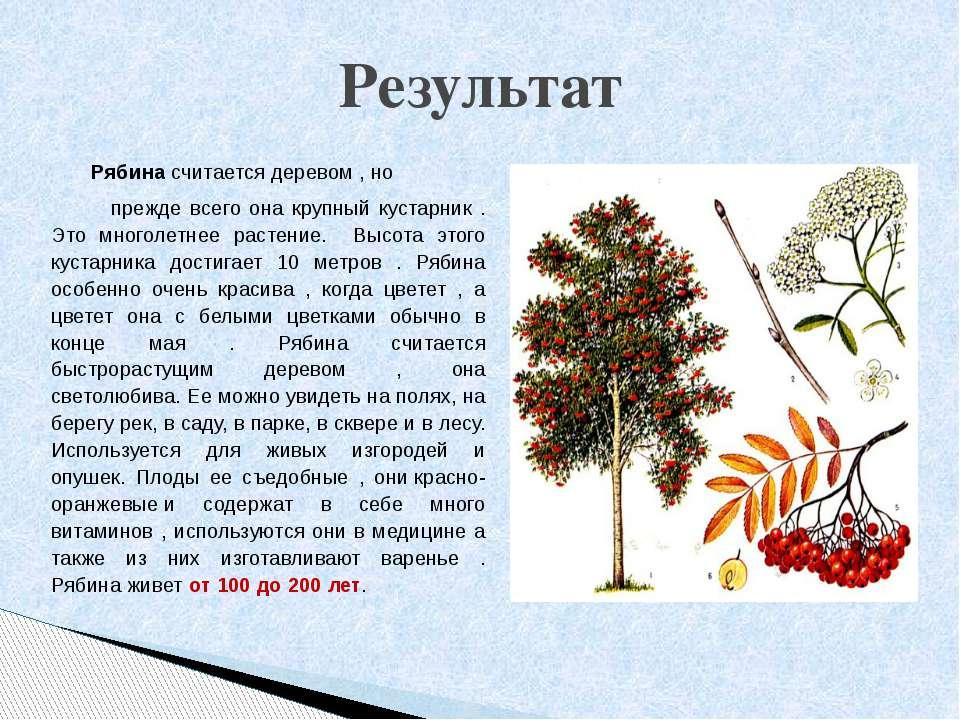 Рябина считается деревом , но прежде всего она крупный кустарник . Это многол...