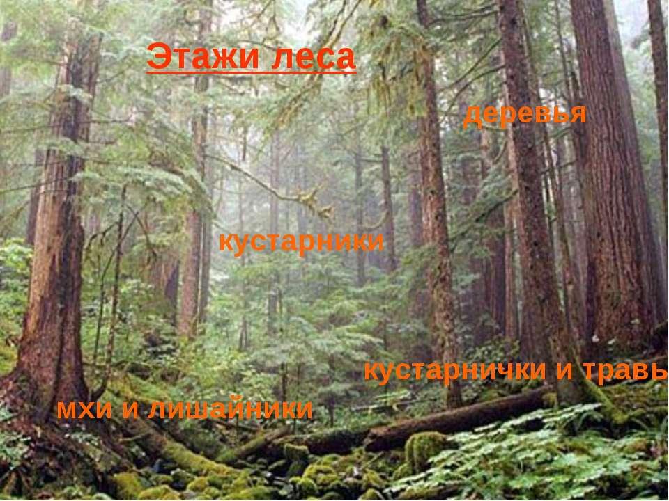 Лесные этажи Деревья Кустарники Кустарнички и травы Мхи и лишайники деревья к...