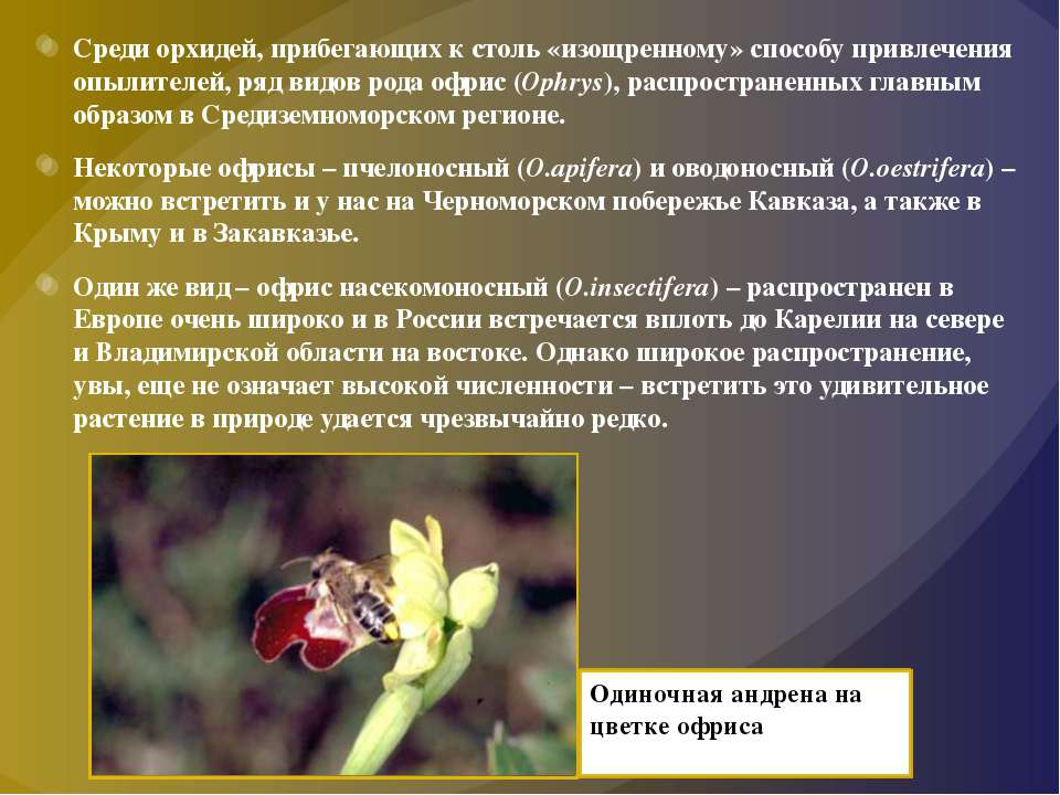 Среди орхидей, прибегающих к столь «изощренному» способу привлечения опылител...