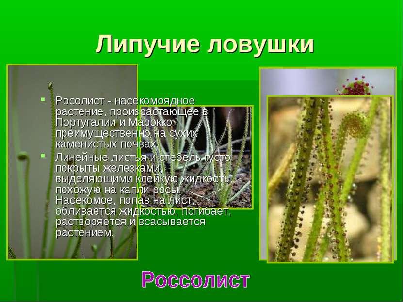 Липучие ловушки Росолист - насекомоядное растение, произрастающее в Португали...