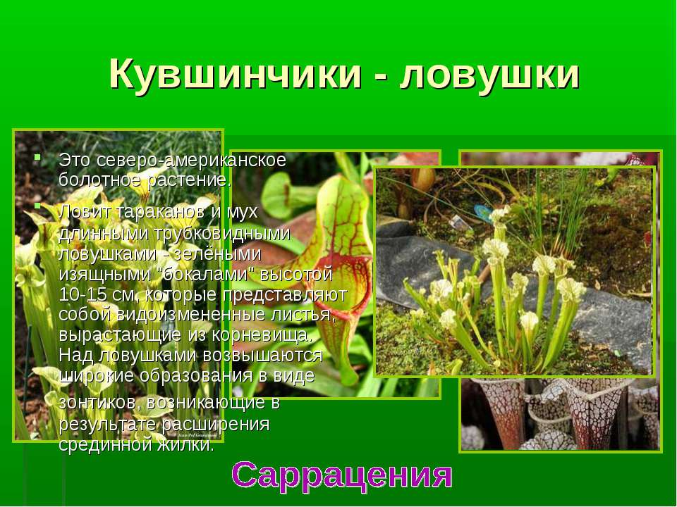 Кувшинчики - ловушки Это северо-американское болотное растение. Ловит таракан...