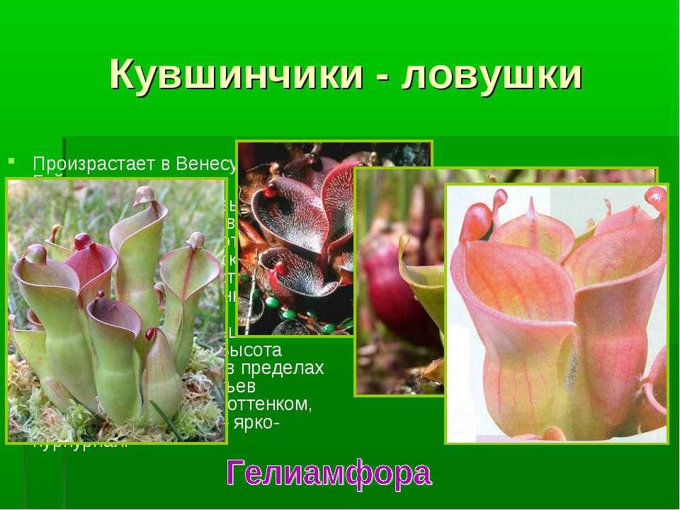 Произрастает в Венесуэле и Гайане. Это многолетние травы, с листьями-ловушкам...