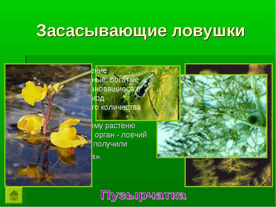 Это интересное растение предпочитает заиленные, богатые гумусом водоемы, стан...
