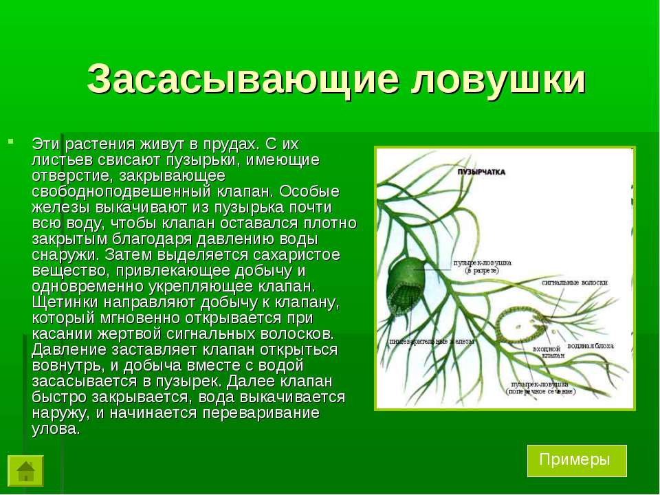 Засасывающие ловушки Эти растения живут в прудах. С их листьев свисают пузырь...