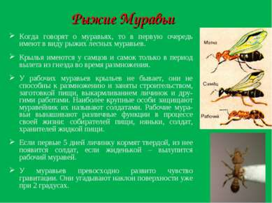 Рыжие Муравьи Когда говорят о муравьях, то в первую очередь имеют в виду рыжи...