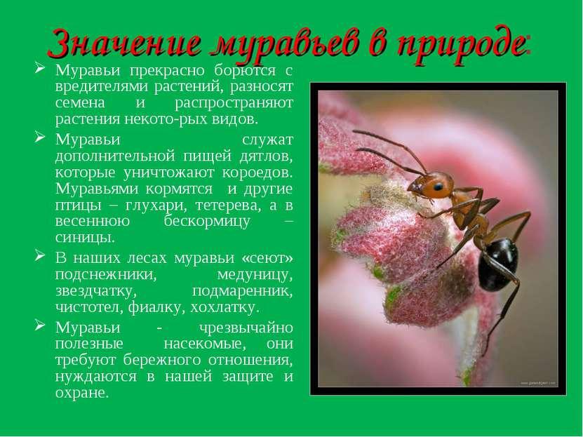 Значение муравьев в природе: Муравьи прекрасно борются с вредителями растений...