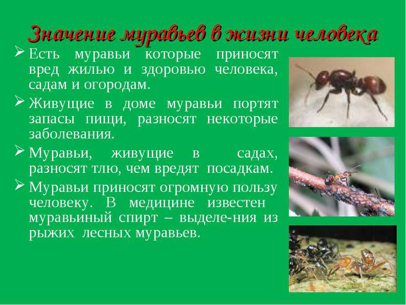 Значение муравьев в жизни человека: Есть муравьи которые приносят вред жилью ...