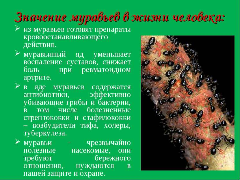 Значение муравьев в жизни человека: из муравьев готовят препараты кровоостана...