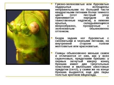 Грязно-зеленоватые или буроватые надкрылья испещрены неправильными по большей...