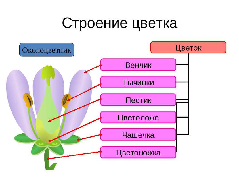 Строение цветка Околоцветник