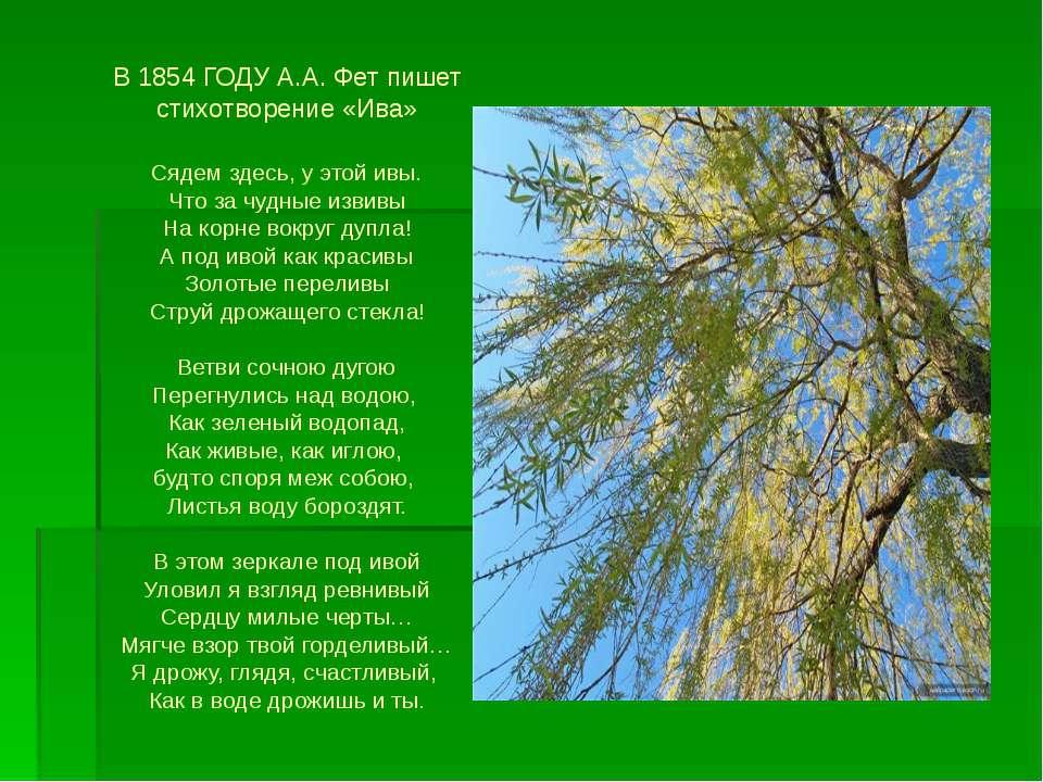 В 1854 ГОДУ А.А. Фет пишет стихотворение «Ива» Сядем здесь, у этой ивы. Что з...