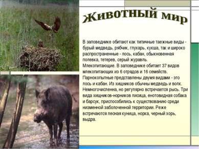 В заповеднике обитают как типичные таежные виды - бурый медведь, рябчик, глух...