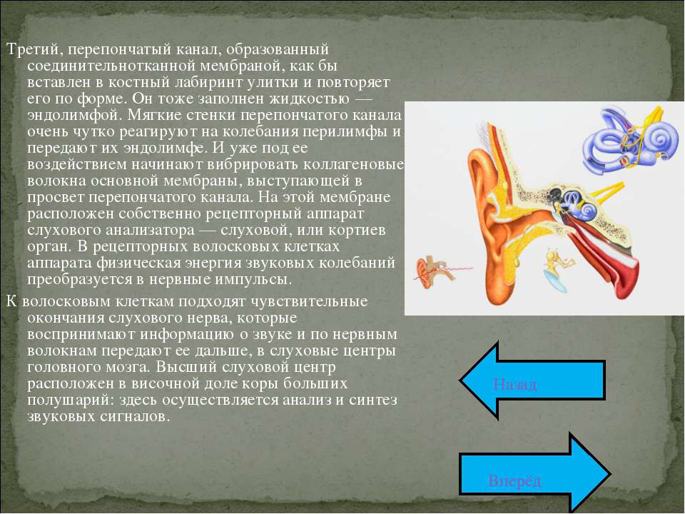 Третий, перепончатый канал, образованный соединительнотканной мембраной, как ...