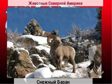 Снежный Баран Животные Северной Америки