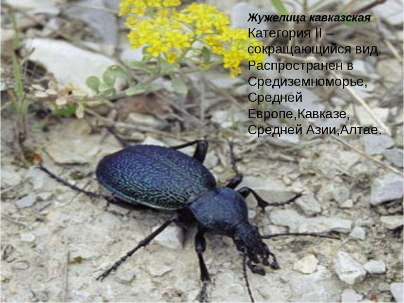 Жужелица кавказская Категория II – сокращающийся вид. Распространен в Средизе...