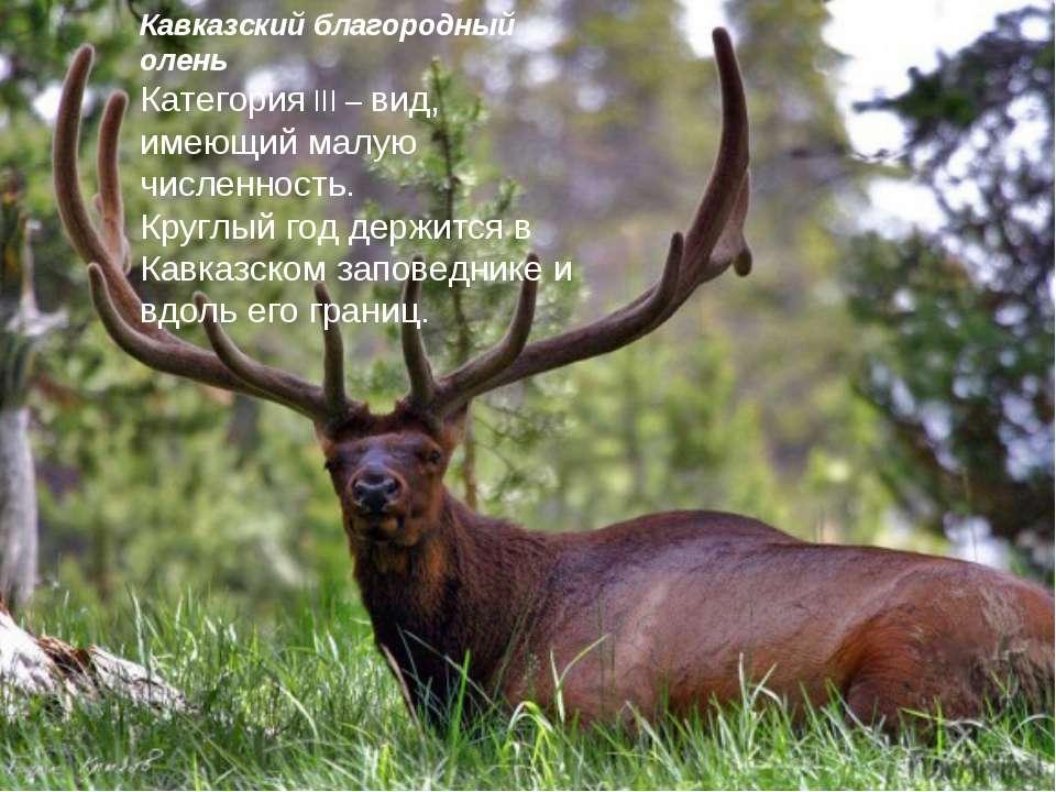 Кавказский благородный олень Категория III – вид, имеющий малую численность. ...