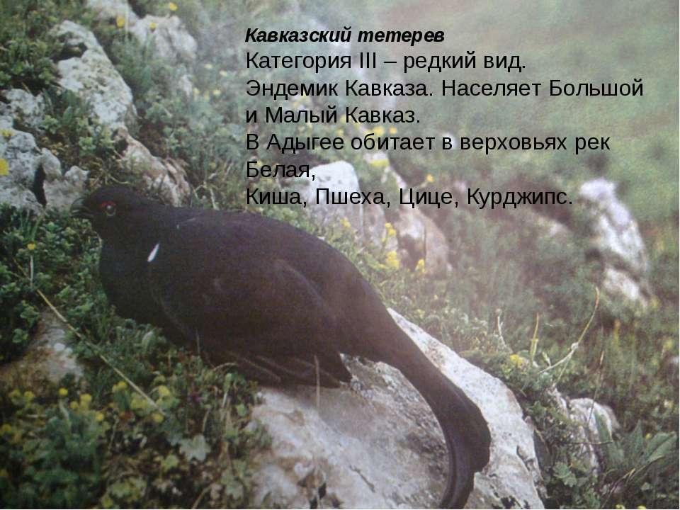 Кавказский тетерев Категория III – редкий вид. Эндемик Кавказа. Населяет Боль...