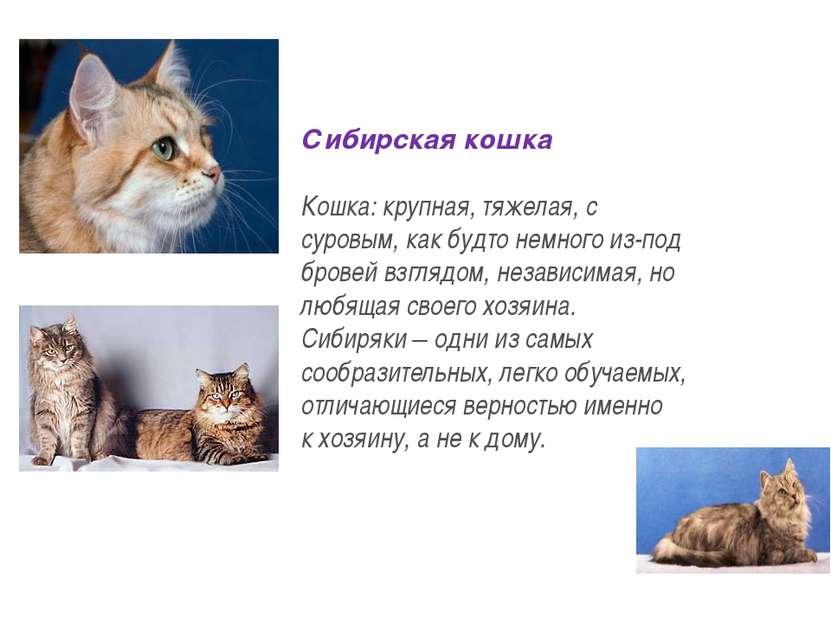 Сибирская кошка Кошка: крупная, тяжелая, с суровым, как будто немного из-под ...