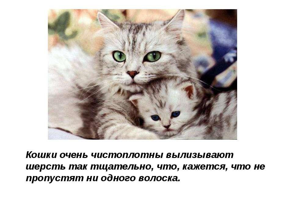 Кошки очень чистоплотны вылизывают шерсть так тщательно, что, кажется, что не...