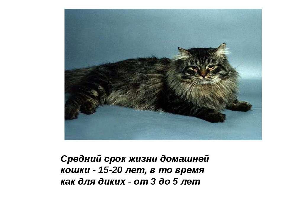 Средний срок жизни домашней кошки - 15-20 лет, в то время как для диких - от ...