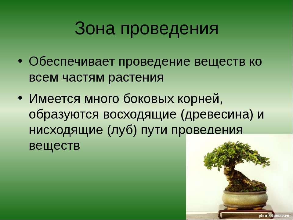 Зона проведения Обеспечивает проведение веществ ко всем частям растения Имеет...