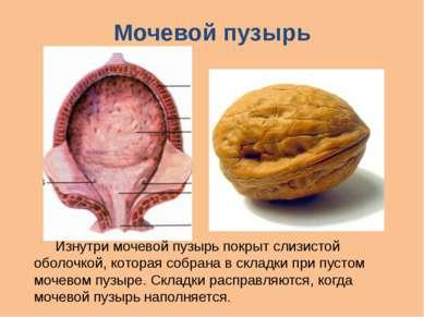 Мочевой пузырь Изнутри мочевой пузырь покрыт слизистой оболочкой, которая соб...