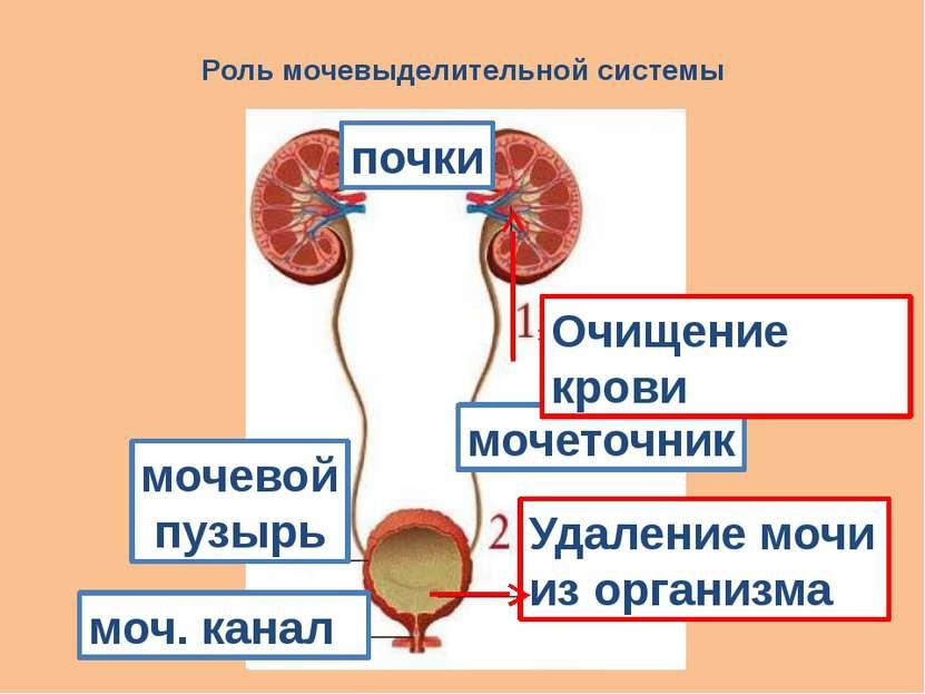 Роль мочевыделительной системы почки моч. канал мочеточник мочевой пузырь Уда...