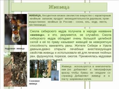 Смола сибирского кедра получила в народе название «живица», и это, разумеется...