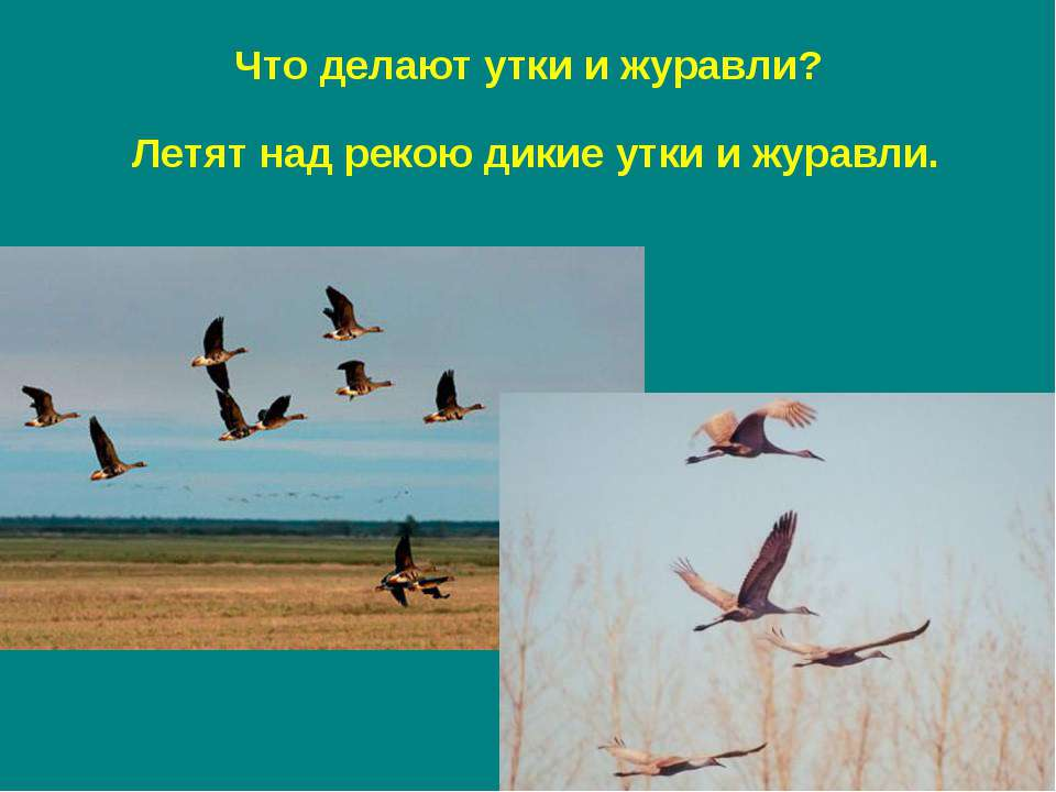 Летят над рекою дикие утки и журавли. Что делают утки и журавли?