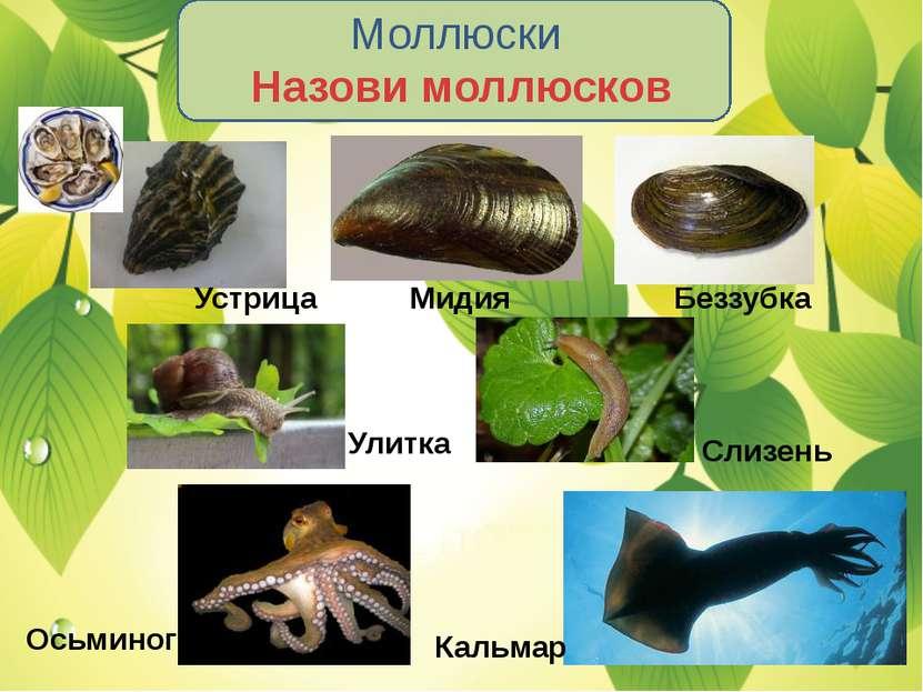 Моллюски Назови моллюсков Устрица Мидия Беззубка Улитка Слизень Осьминог Кальмар