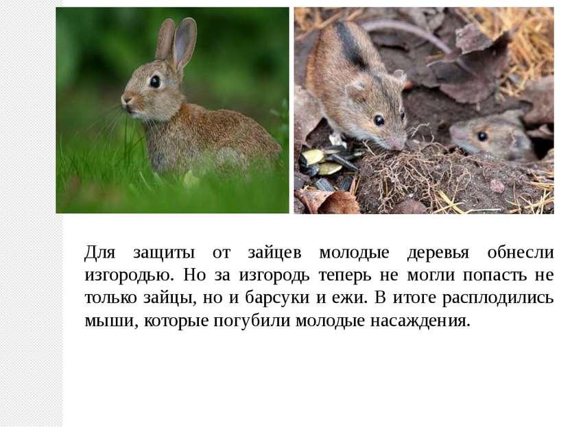 Для защиты от зайцев молодые деревья обнесли изгородью. Но за изгородь теперь...