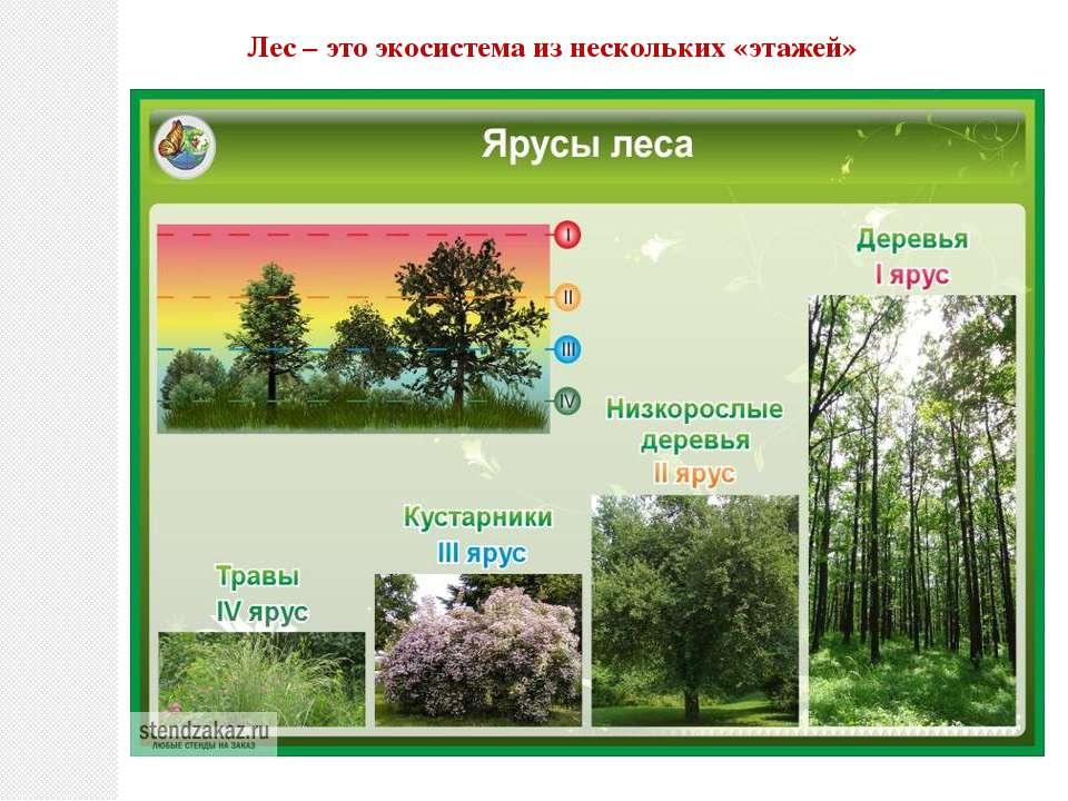 Лес – это экосистема из нескольких «этажей»