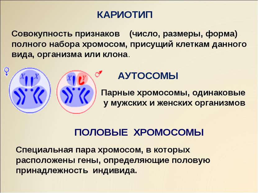 АУТОСОМЫ ПОЛОВЫЕ ХРОМОСОМЫ КАРИОТИП Совокупность признаков (число, размеры, ф...