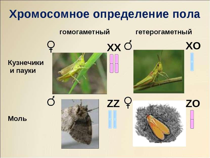 ХХ ZZ ХO ZO Хромосомное определение пола гомогаметный гетерогаметный Кузнечик...